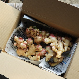 自然農 新生姜 (1kg)
