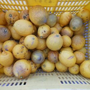 広島産瀬戸内レモン加工用 無農薬・無化学肥料 (5kg)