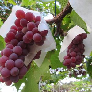 自然栽培ぶどう (デラウェア) (1.2kg=300gパック×4)