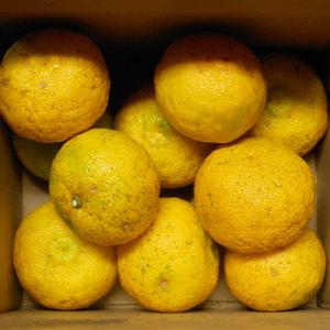 ゆず 無農薬・無化学肥料・無除草剤 (1.5kg)