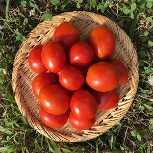 【自然栽培】加熱調理用トマト なつのこま (1kg)