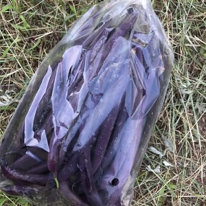 いんげん豆 無農薬・無化学肥料  (紫インゲン 200g)