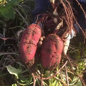 自然栽培さつまいも (紅はるか1kg)