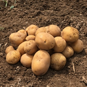 自然栽培じゃがいも (インカのめざめ1kg)