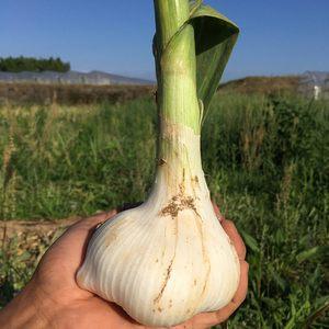 自然栽培ジャンボにんにく (1kg 8個前後)