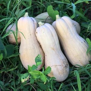 自然栽培パンプキン・バターナッツ(かぼちゃ) (1玉 約4kg)