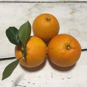 ネーブルオレンジ 無農薬・無化学肥料・無除草剤 (4kg)