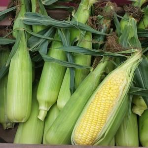 朝採りトウモロコシ (10本セット)